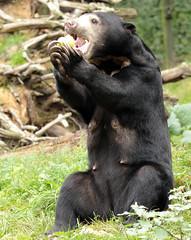 sunbear Burgerszoo BB2A0049 (j.a.kok) Tags: animal asia azie mammal bear beer burgerzoo burgerszoo bearcub berenwelp cub honingbeer honeybear maleisebeer malayanbear sunbear sunbearcub