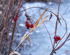 Winter Berries (Mitymous) Tags: dawn doorcreekpark ice neighborhood overcast pons reflections sunrsise walk winter201920 wisconsin