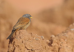 House Bunting (Dave Soons) Tags: morocco housebunting