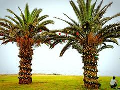 Palmeras con decoración Navideña ..🌲🎄🌴 (MariaTere-7) Tags: palmeras decoraciónnavideña malecónbertolotto avenidacostanera lima perú maríatere7