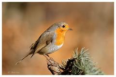 Rougegorge familier - Erithacus rubecula - European Robin (Pierre Crétu) Tags: rougegorgefamilier erithacusrubecula europeanrobin passériformes muscicapidés oiseaux bird jardins parcs bois