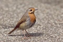 Robin - Erithacus rubecula (Phasmomantis) Tags: robin erithacus rubecula red bird wwt bbc springwatch uk wildlife nature pentax kmount bokeh portrait