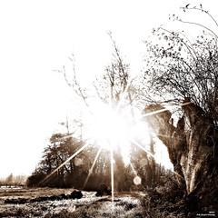 Quand on parle du soleil, on en voit les rayons. (Un jour en France) Tags: sepia carré square soleil contrejour arbre nature campagne canoneos6dmarkii canonef1635mmf28liiusm