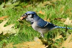 DSC_6200 Blue jay (Charli 49) Tags: nature naturfotografie wildlife fauna vogel blue jay garten ontario kanada nikon d500 nikkor 200500