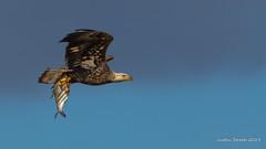 Bald Eagle & Fish (strjustin) Tags: baldeagle eagle fish beautiful bird animal maryland conowingodam