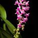 [Calayan, Cagayan valley, Philippines] Aerides magnifica Cootes & W.Suarez, OrchideenJ. 21: 127 (2014)