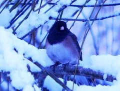 Dark-Eyed Junco (starmist1) Tags: winter morning junco bird darkeyedjunco snow tree branches limbs perch overcast cold ice
