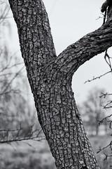 Baumstamm (Pascal Volk) Tags: berlin althohenschönhausen berlinlichtenberg baumstamm rinde trunk bark corteza ritidoma tronco artinbw schwarz weis black white blackandwhite schwarzweis sw bw bnw blancoynegro blanconegro natur nature naturaleza pflanze plant planta invierno winter canoneosr canonrf24105mmf4lisusm 85mm dxophotolab dxosilverefexpro nikcollection