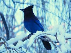 Steller's Jay (starmist1) Tags: bird jay stellersjay tree willow weepingwillow branch limb perch twig snowymorning winter december overcast cold ice backyard