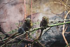 Pigmy (JaaniicB) Tags: canon eos 1200d animal monkey pigmy sigma 1750mm f28 sitting tree