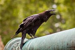 Corvo Real (Camila M. Guerra) Tags: londres uk europe europa inglaterra england corvo bird pássaro corvus crow london blackbird unitedkingdom reinounido torredelondres londontower