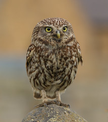 Little owl (waynehavenhand1) Tags: nature's finest nature northeast northumberland rspb photo canon wild wildlife bird birdofprey raptor little owl athene noctua
