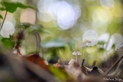 Champignon-3477 (valcie) Tags: mushroom macro champignon nature extérieur botanic couleurs automne autumn bois forêt wood forest lumière naturelle natu bokeh proxi