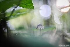 Champignon-3473 (valcie) Tags: mushroom macro champignon nature extérieur botanic couleurs automne autumn bois forêt wood forest lumière naturelle natu bokeh proxi