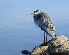 Great Blue Heron (annette.allor) Tags: greatblueheron ardeaherodias centennialpark lake water