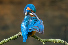 Kingfisher (m) (Rods Kingies) Tags: ijsvogel halcyon kingfisher eisvogel alcedoatthis birds birdsinflight diving fish electricblue martinpêcheur vogel fugl tier iridescent river lake canal animal bird wasser water nature fauna wild wildlife rodskingies natur glück bluebirdofhappiness bluebird freude entspannung uk britain green blue fisch taucher räuber orange tree alcedines alcededoj alcedinidae alcédinidés martinspêcheurs martinschasseurs martinespescadores alciones martines malachietijsvogel cazadores cucaburras cruidín picapeixes martiños peixeiros martinpescatore alcedinidi kookaburra jégmadárfélék ijsvogels