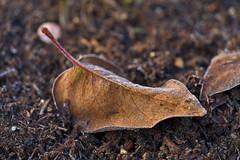 Frosted Leaf (pstenzel71) Tags: blätter natur pflanzen blatt leaf frost darktable bokeh ice eis ilce7rm3 sel90m28g autumn fall herbst