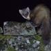 Pine marten (Martes martes) (www.clivetemple.com) Tags: marten scotland nature animals