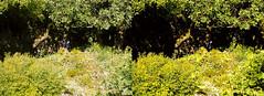 Jardin des Plantes stéréo plein format 16 (Dominik Lange) Tags: stereoscopy stereophotography stereoscopic stereography stereorig stereo3d jardindesplantes poetry parkcity paris publicspace nature underground urbannature urbanspace outdoor outside
