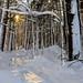 Sunlit path through snowy woods