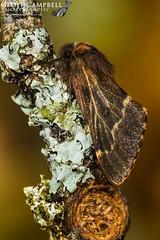 Female December Moth (Poecilocampa populi) (gcampbellphoto) Tags: poecilocampa populi december moth insect macro nature wildlife north antrim northern ireland gcampbellphoto outdoor animal wood