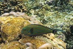 Lined Surgeonfish (davee10101) Tags: 2019 acanthuruslineatus fish kuramathi linedsurgeonfish maldives stripedsurgeonfish alifalifatoll