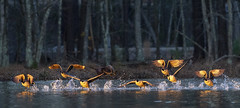 """Catching rays (5'20"""") Tags: canadageese birds outdoors sunrise flying animals lake apex nc"""