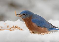 Eastern Bluebird (snooker2009) Tags: bird bluebird winter snow nature wildlife