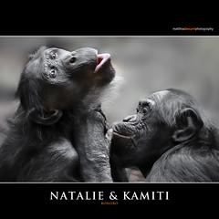 Natalie & Kamiti (Matthias Besant) Tags: affe affen affenfell animal animals ape apes pygmychimpanzee fell zwergschimpanse hominidae hominoidea mammal mammals menschenaffen menschenartig menschenartige monkey monkeys primat primaten saeugetier saeugetiere tier tiere trockennasenaffe bonobo schauen blick blicken augen eyes look looking zoo zoofrankfurt matthiasbesant matthiasbesantphotography kamiti natalie hessen deutschland