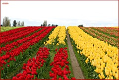 bright colors to brighten your day... (MEA Images) Tags: tulips flowers blossoms blooms flora nature parks gardens skagitvalley mountvernon washington canon picmonkey tuliptown