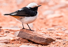 Rock Perched, Mourning Wheatear (Oenanthe lugens), Wadi Rum, Aqaba Governorate, Jordan (SW Roller) Tags: mourningwheatear bird animal wildlife nature perched rock desert wadirum aqaba jordan d500