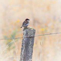 House Sparrow - fence sit (njohn209) Tags: birds d500 nikon nz