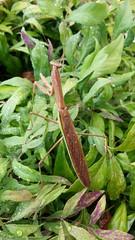 praying mantis (kath2357) Tags: praying mantis insect backyard