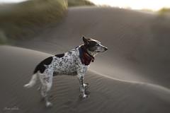in a sea of sand (Claudia Künkel) Tags: oregon blanca dog bordercolliemix beach dune lensbaby sweet35