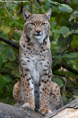 Eurasian lynx - Zoo Duisburg (Mandenno photography) Tags: animal animals dierenpark dierentuin dieren duitsland duisburg zoo zooduisburg bigcat big cat cats eurasian lynx germany ngc nature natgeo natgeographic discovery bbcearth bbc