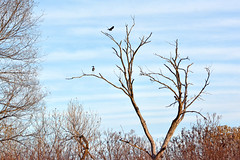 Leaving Now (NaturalLight) Tags: dead cottonwood tree crow heron clouds chisholmcreekpark wichita kansas