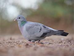 Stock dove (PhotoLoonie) Tags: bird wildlife wildbird nature stockdove dove avian