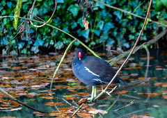 Canal side Moor-hen.. (mickb6265) Tags: stokebruerne canal historiccanalvillage stokebruernecanals narrowboats moorhen canalside perch sigma70700f28os