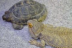 Friends (nickym6274) Tags: lintonzoo linton zoo conservationpark cambridgeshire uk animal spurthighedtortoise beardeddragon tortoise