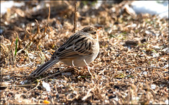 Clay-colored Sparrow (Spizella pallida) (Steve Arena) Tags: claycoloredsparrow spizellapallida bird birds birding backyard wachusettview westboro westborough worcestercounty massachusetts 2019 nikon d750