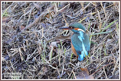 Martin-Pêcheur 191212-05-P (paul.vetter) Tags: nature faune oiseau vogel bird martinpêcheur alcedoatthis commonkingfisher martínpescadorcomún guardarios eisvogel alcédinidé
