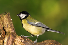 Great Tit (Dougie Edmond) Tags: scotland unitedkingdom ayr bird nature tit wildlife