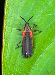Coleoptera - Lycidae (entomopixel) Tags: insect insecto insectphotography insectmacro insects insectcloseup insectmacrophotography arthropods colombia colombianinsects coleoptera lycidae entomopixel