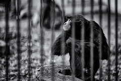No! (JMZ Photos) Tags: outside chimpanzee zoo bars black white bw nikon nikkor samyang 85mm f14 d700 bokeh monkey animal cage sulk angry