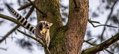 Lemur- Ready to Jump-1 (tiger3663) Tags: lemur jump ready yorkshire wildlife park