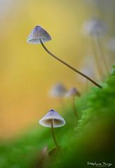 Bois Louvière Lapugnoy Chataigne Champignon-4455 (valcie) Tags: mushroom macro champignon nature extérieur botanic couleurs automne autumn bois forêt wood forest lumière naturelle natu bokeh proxi