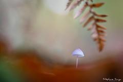 Bois Louvière Lapugnoy Chataigne Champignon-4438 (valcie) Tags: mushroom macro champignon nature extérieur botanic couleurs automne autumn bois forêt wood forest lumière naturelle natu bokeh proxi
