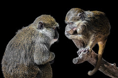 Hi Mom! (helenehoffman) Tags: africa mother wildlife primate nature congobasin sandiegozoo motherandchild allenopithecusnigroviridis allensswampmonkey conservationstatusleastconcern monkey animal alittlebeauty coth specanimal coth5