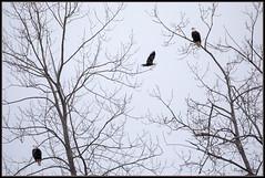 Eagles (ROHphotos.) Tags: randyohara rohphotos eagle bird birdofprey