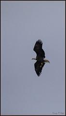 Eagle (ROHphotos.) Tags: randyohara rohphotos eagle bird birdofprey